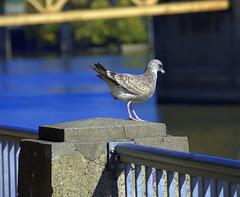 Preparing For Takeoff (swong95765) Tags: river bird gull seagull skittish railing wild instinct