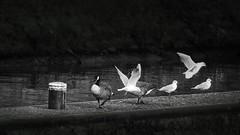 black (Yasmine Hens) Tags: birds seagull oie mouettes oideaux waterbirds hensyasmine namur belgium wallonie europa aaa  belgique blgica    belgio  belgia   bel be monochrome