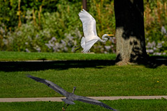 TurfWars (jmishefske) Tags: greenfield nikon d500 egret september wisconsin pond scuffle blue territory great flight westallis milwaukee bird heron lagoon park county 2016 bif attack