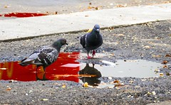 (M a r i S à) Tags: pigeons puddle red bloodred