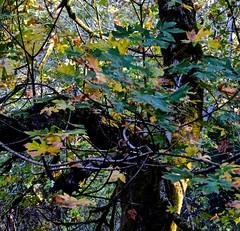 Ano Nuevo, oaks in fall, Butano State Park, Goat Hill trails, Little Butano Creek, redwoods (David McSpadden) Tags: anonuevo butanostatepark goathilltrails littlebutanocreek oaksinfall redwoods