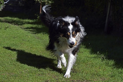 On My Way. (Mike & Indy) Tags: laddie dog dogs bordercollie playing ball llanfairfechan northwales grass