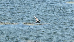Mwe (Tobi NDH) Tags: mwe neckar tier vogel animal natur nature wasservogel wildlife laridae gaviota gull gabbiani meeuwe lardeos  mart
