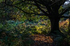 Under My Protection (Shastajak) Tags: autumncolours autumn tree boughs ferns bracken leaves sunlight earlymorninglight hastingscountrypark ecclesbourneglen