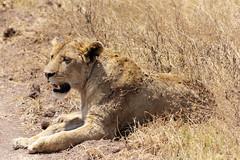 Lione (Nicolas Bousquet) Tags: lionking lion tanzanie tanzania africa afrique safari gamedrive ngorongoro pentaxk3 da55300