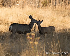 October 23, 2016 - A deer doe and her fawn. (Shawn Jones)