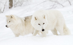 Arctic wolves hunting in winter (Jim Cumming) Tags: closeup cold natural park mammal white beast adult fur fierce untamed carnivore lupus black wolf lone front winter predator outdoors arctic beautiful snow wild nature single dog animal polar wildlife arcticwolves arcticwolf whitewolf highkey canis