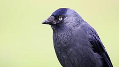JACKDAW (Bradders62) Tags: sigma150500mmf563dgoshsmlens jackdaw canoneos7d sigma dorset studland southwest wildbirds britishbirds birds gardenbirds nature wildlife