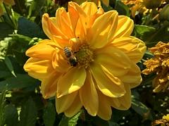 WP_20160901_17_12_39_Pro (vale 83) Tags: bee microsoft lumia 550 wpphoto wearejuxt friends macrodreams thebestyellow colourartaward lunaphoto