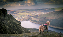 Libby (ScottDownsPhoto) Tags: libby saddleworth dovestones dogs dog oldham uppermill greenfield landscape peakdistrict cute
