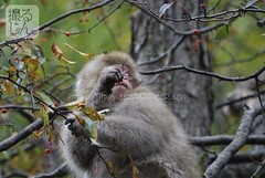161021m (finalistJPN) Tags: wildmonkey snowmonkey kamikochi babymonkey earlywinter nationalgeographic discoverychannel japanguide visitjapan worldheritage discoverjapan autumnintowinter stockphotos availablenow