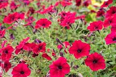 Flowers, Botanic Garden, Denver (pmenge) Tags: denver botanicgarden flowers flores 18135 xt1