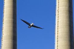 Shooting the gap (BDFri2012) Tags: pelican morrobay bird bluesky smokestack california ca californiacoast sky centralcoast pacificcoasthighway pch