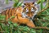 Panthera tigris / Tiger / Тигр (Svitlana Tkach) Tags: copenhagen zoo panthera tigris siberian amur tiger amurtiger дальневосточный сибирский уссурийский аму́рский тигр tigerunge tigerbaby