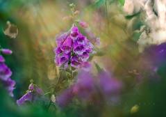 Garden rays (Franci Van der vyver (Carmen Tulum)) Tags: helios402 foxglove garden rays light