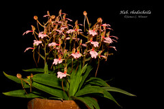 Habenaria rhodocheila (Orchidelique) Tags: nature plant flower exotic orchid species habenaria hab rhodocheila aos ncjc