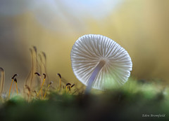 Transient Translucence (Wild Nature.Photography) Tags: mushroom fungus forest sunlight transient luminance light autumn nature bokeh canada quebec moss sporangia fleeting translucent