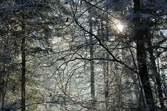 Wald 1 (LETHO 2706) Tags: winter winterlandschaft reif raureif 2016 wald baum bäume sonne sonnenlicht gräser gras äste gerlafingen