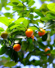 Miniature Orange tree (vinnie saxon) Tags: tree fruit orange nature leaves green bokeh nikoniste nikon d600