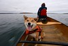 100% Happiness (deanspic) Tags: misha canoe canoeing paddle paddling 100paddles 100100 smile happy happiness fall fall2016 autumn 6d shiba shibainu explore vfmc
