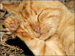 Keep on dreaming..... (maria xenou~photodromos~) Tags: cat tier sleeping closeup sunnyday sunlight animal lovely beauty softness garden garten details kmpfer fighter wild         herbst autumn mittelmeer fotodromos photodromos tierportrait katze  outdoor dreaming