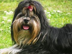 (Gislaine M) Tags: animal cachorro dog co brazil ilovemydog dogs photo photodog doglovers pet petlover animaisdeestimao amor mypet mydog dogoftheday photography foto fotografia animais animals