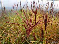 Miscanthus sinensis 'Rotsilber'