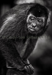 Portrait of a young Howler Monkey, Mexico (cindy-lou ramsay photographer) Tags: howler monkeys cindylou ramsay photography central american wildlife scottish photographer blackandwhite animal portrait