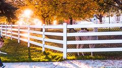 Sunsets on Fence and Llama (Buckley Fence, LLC) Tags: whitefencefarm chicagoland pettingzoo illinois fall steelfence wiremesh blackmesh buckleyfence steelboard whitefence goldenhour sunset llama whitellama fenceline sun glisten