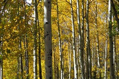 Tree Trunks (Patricia Henschen) Tags: colorado fall color leafpeeping autumn aspen sanluisvalley mountains fr250 riogrande nationalforest sanjuanmountains conejoscounty leaves conejosriver backroads highcountry road backroad riograndenationalforest