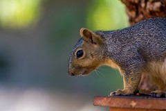 Sometimes I wish I could be him... at least for the next 4 years (suzeesusie) Tags: fox squirrel foxsquirrel california losangeles nature depthoffield canon 7d furry cute face profile animal wildanimals wildlife tree closeup canon7d raw