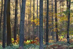 Forest Light (midlander1231) Tags: farforest cleoburymortimer kidderminster bewdley forest light lightintheforest trees woods autumn nature