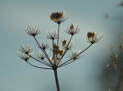 Teardrops (Birdiebirdbrain) Tags: naturephotography naturfoto nature flower withered rime dew waterdrops autumn fall efterår rimfrost dråber nikon nikond3300 macro tokina tokina100mmf28