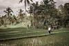 Bali rice paddies (sengsta) Tags: bali paddies ricefields landscape indonesia farmer farming palmtrees tropics