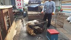 Seoul Gyeongdong dog meat market (Koreandogs) Tags: seoul dogmeat animalcruelty boshintang animalabuse gaegogi dogsoju dogelixir southkorea              hyundai samsung lg kia sk daewoo fila koreanairline asianaairline boycott