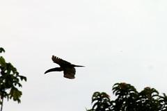 Toucan (KnitLitGeek) Tags: amazon jungle river wildlife peru toucan bird