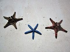 THREE STARS (PINOY PHOTOGRAPHER) Tags: matnog sorsogon starfish animal bicol bicolandia luzon philippines asia world