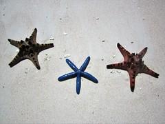THREE STARS (PINOY PHOTOGRAPHER) Tags: matnog sorsogon starfish animal bicol bicolandia luzon philippines asia world