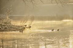 Misty morning (pixelarized) Tags: mist ochtendlicht ochtend water eenden lindenholt nijmegen vijver goud gloed morning dusk