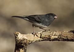 Dark-eyed Junco (AllHarts) Tags: darkeyedjunco backyardbird memphistn naturescarousel ngc npc