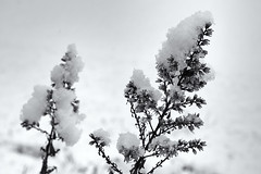 Day 339:  first snow (Mark.Swanson) Tags: goldenrod showygoldenrod solidagospeciosa prairie native garden normal illinois