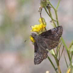 Columbine Duskywing _1842  ( Erynnis lucilius ) (agawa2yukon) Tags: lepidoptera hesperiidae pyrginae butterfly butterflies