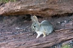 In Rabbit Valley... (Jeff Mitton) Tags: rabbit rabbitvalley mcinniscanyonsnationalrecreationareas animal bunny colorado coloradoplateau redrockcountry anyonecountry earthnaturelife wondersofnature