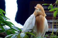 DSC07321 (Peripatete) Tags: bali ubud petulu nature birds travel tourism