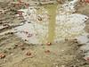 木棉(斑芝花) (judie35) Tags: 巴克禮公園 flower 木棉