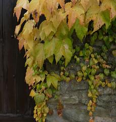 HOJAS (Joan Biarns) Tags: tardor otoo fulles hojas 210 panasonicfz1000 monells baixempord empord