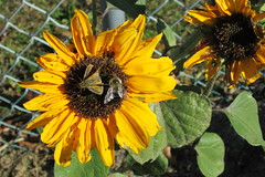 IMG_0923 (hammonton_garden) Tags: 2016 communitygarden fall hammonton southjersey nj gardenstate