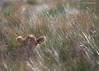 4040in (JKmedia) Tags: bovine cow cattle farm welsh brown field grass hiding game fluffy ears boultonphotography canoneos5dmkiii thirds sunlit shallowdof countryside wales northwales llanberis hidenseek looking peeping eye 15challengeswinner