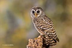 Chaco Owl D50_4520.jpg