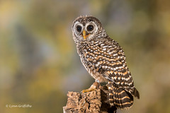Chaco Owl D50_4520.jpg (Mobile Lynn) Tags: chacoowl birds owls nature captive bird fauna strigiformes strixchacoensis wildlife nocturnal ringwood england unitedkingdom gb coth specanimal coth5 ngc sunrays5 npc